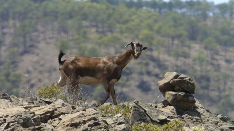 Petición erradicación cabras asilvestradas en Guguy, Gran Canaria