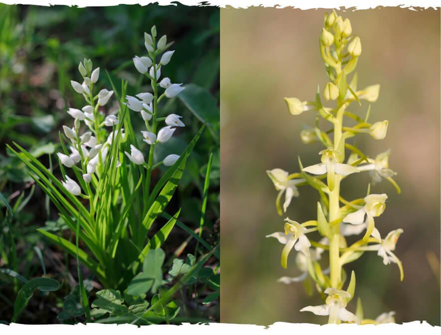 Ciencia ciudadana y conservación de flora y hábitats: El programa de conservación de orquídeas de Vitoria-Gasteiz